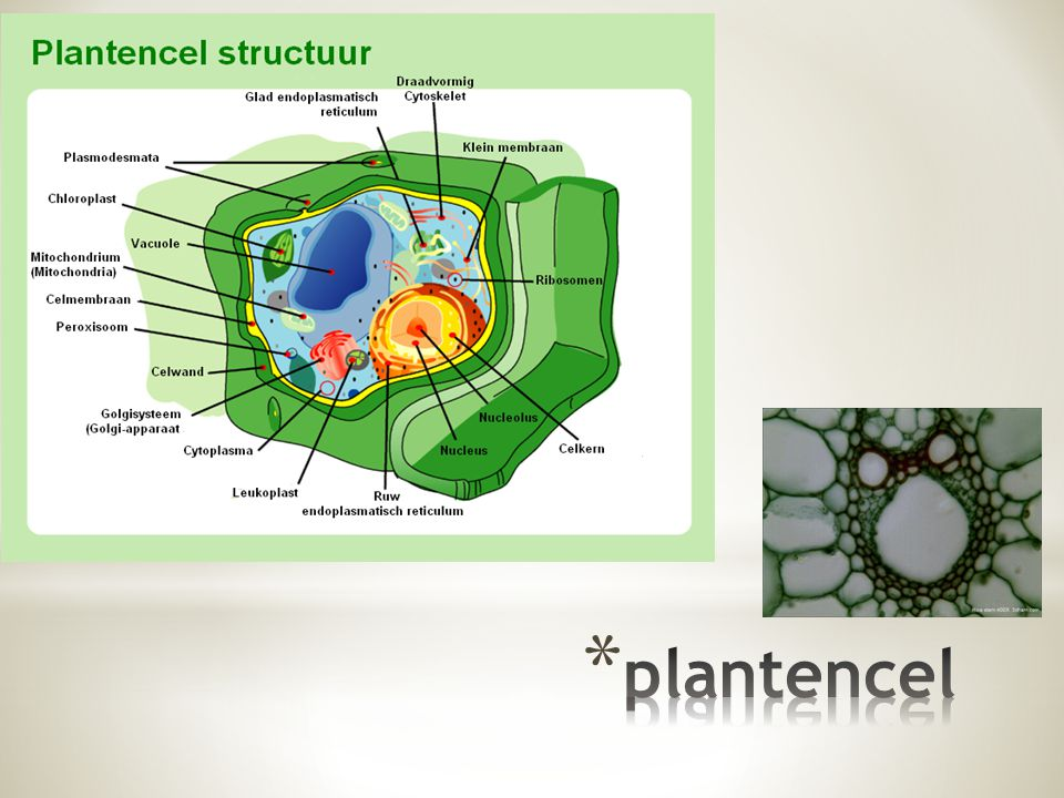 plantencel