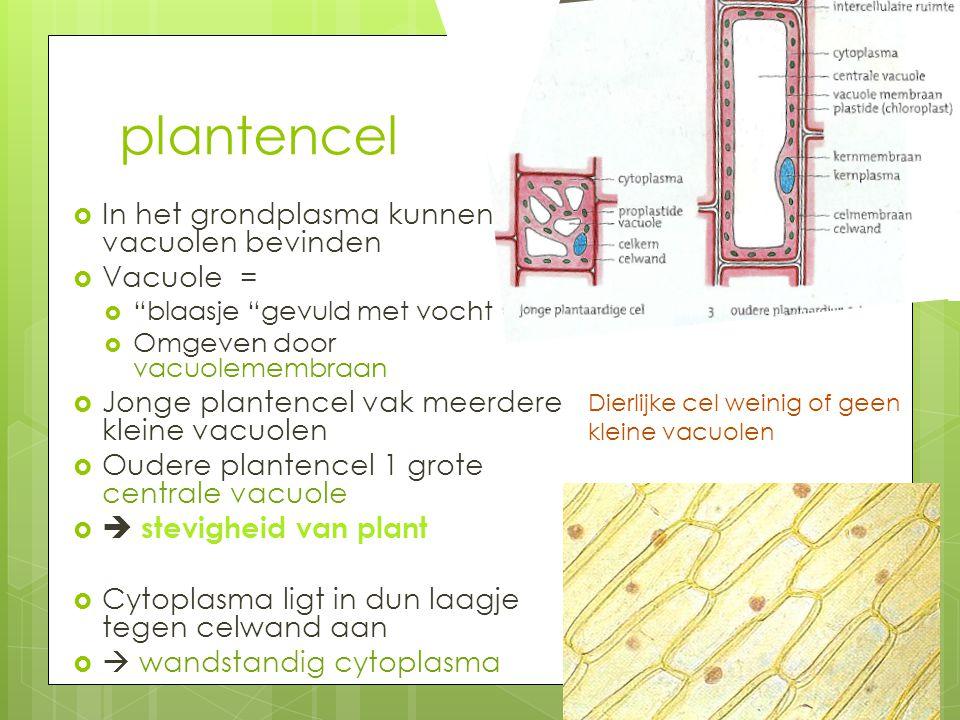 plantencel In het grondplasma kunnen zich vacuolen bevinden Vacuole =