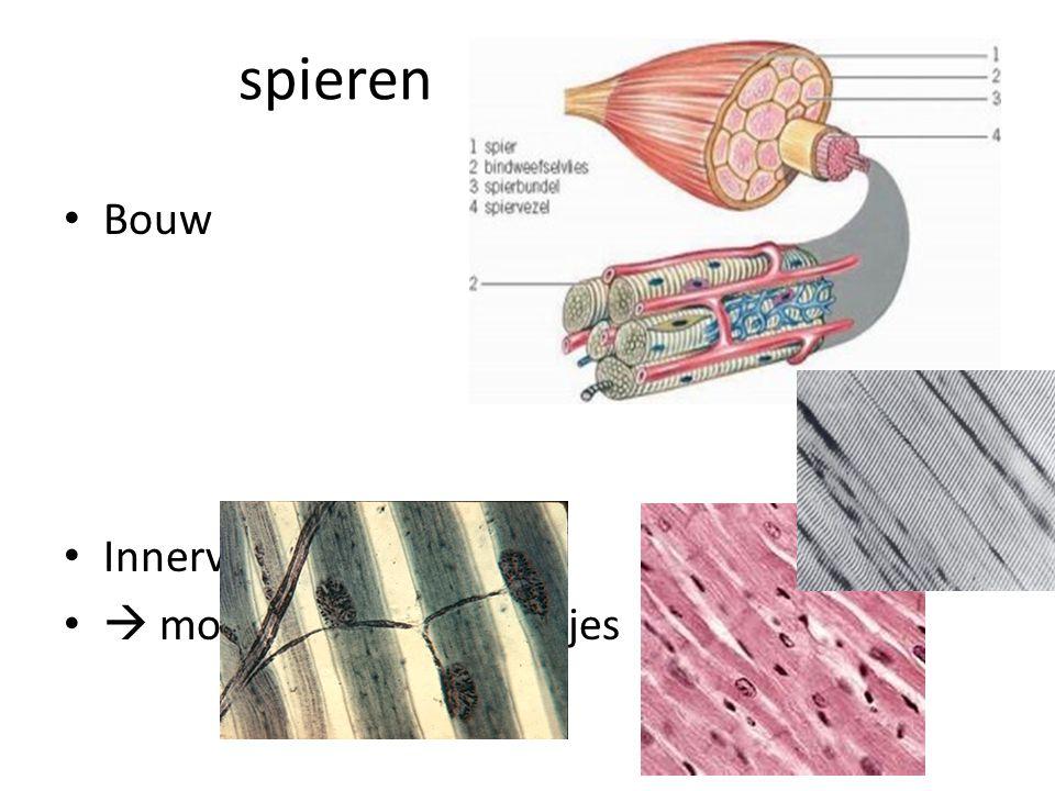 spieren Bouw Innervatie  motorische eindplaatjes