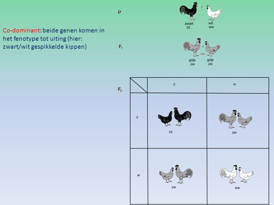 Co-dominant: beide genen komen in het fenotype tot uiting (hier: zwart/wit gespikkelde kippen)