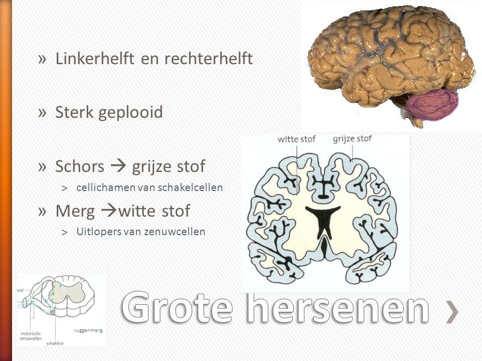 Grote hersenen Linkerhelft en rechterhelft Sterk geplooid