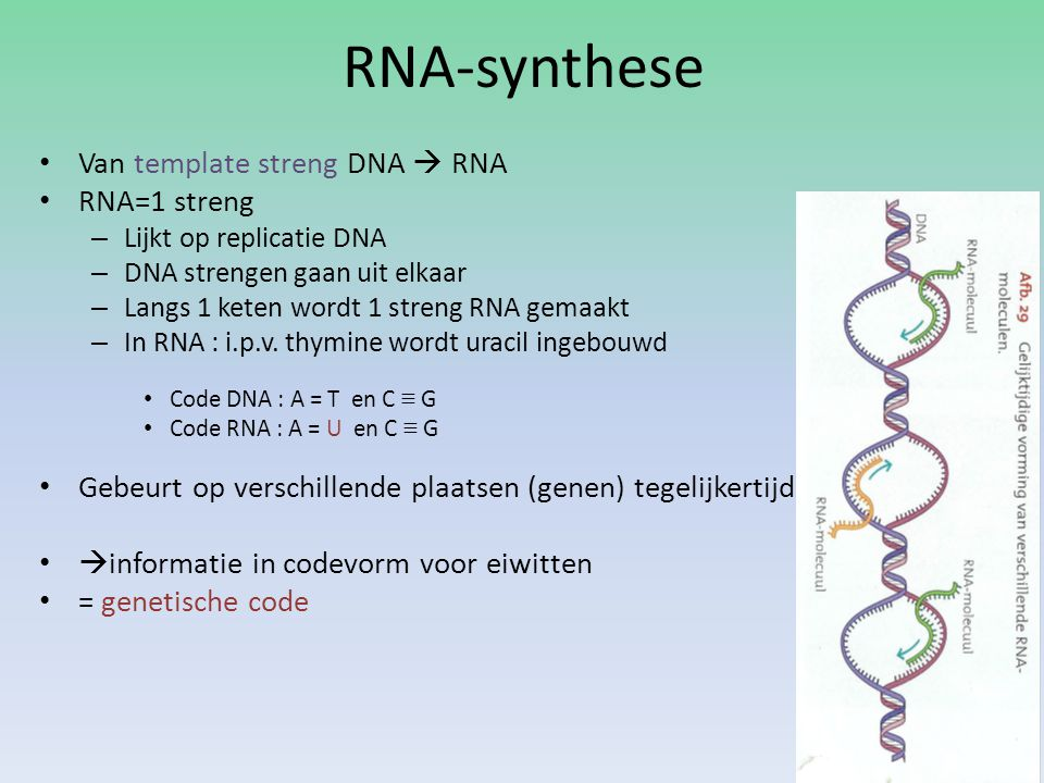 RNA-synthese Van template streng DNA  RNA RNA=1 streng