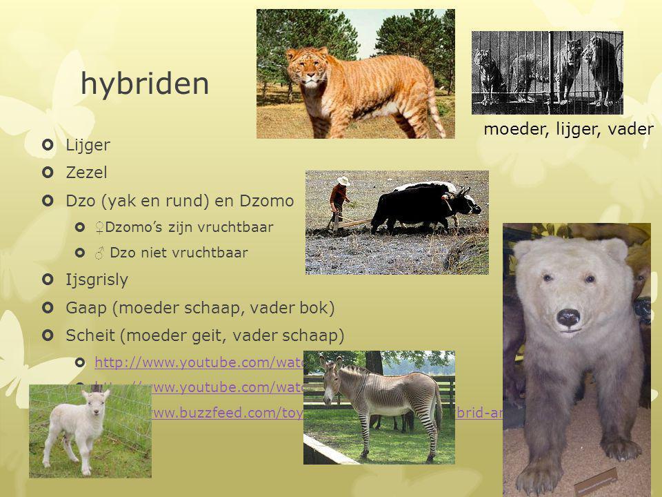 hybriden moeder, lijger, vader Lijger Zezel Dzo (yak en rund) en Dzomo