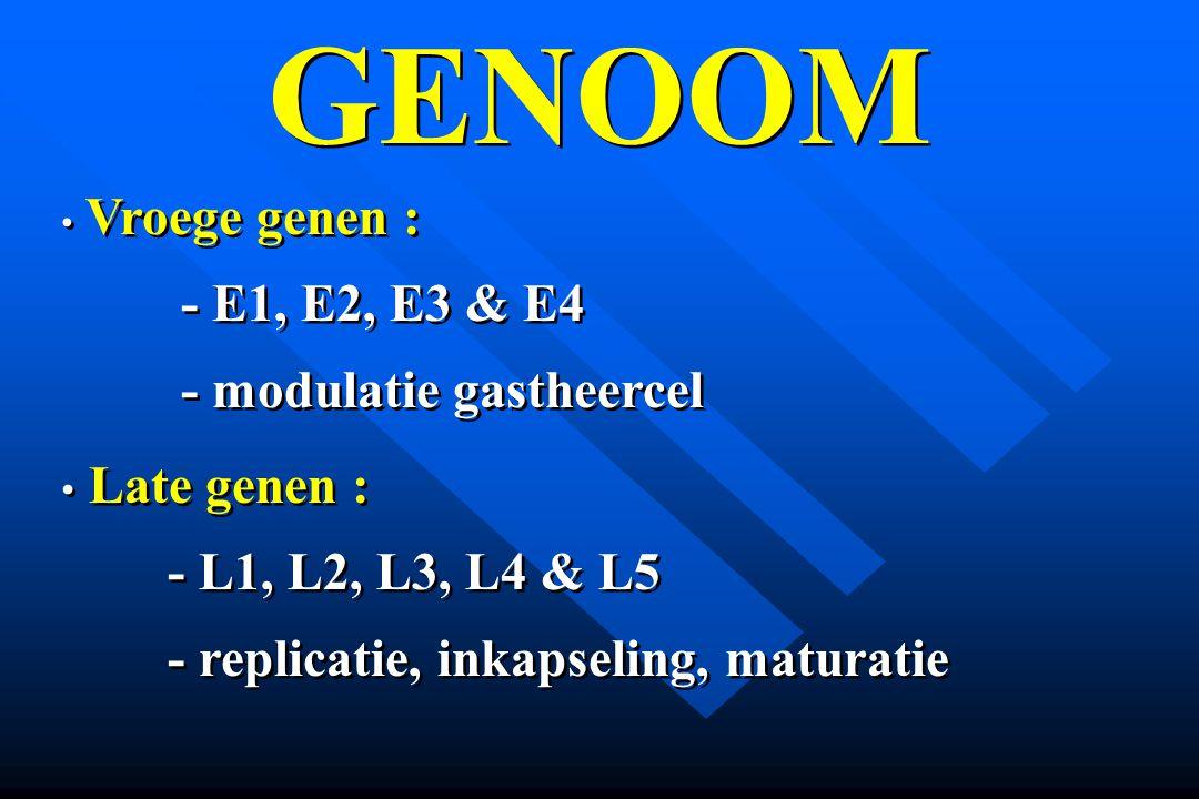 GENOOM - E1, E2, E3 & E4 - modulatie gastheercel Late genen :