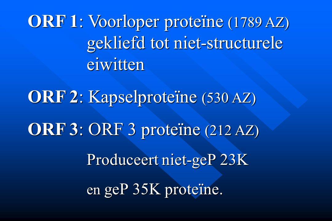 ORF 2: Kapselproteïne (530 AZ) ORF 3: ORF 3 proteïne (212 AZ)