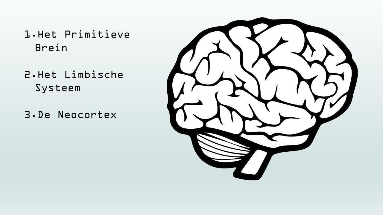 Het Primitieve Brein Het Limbische Systeem De Neocortex