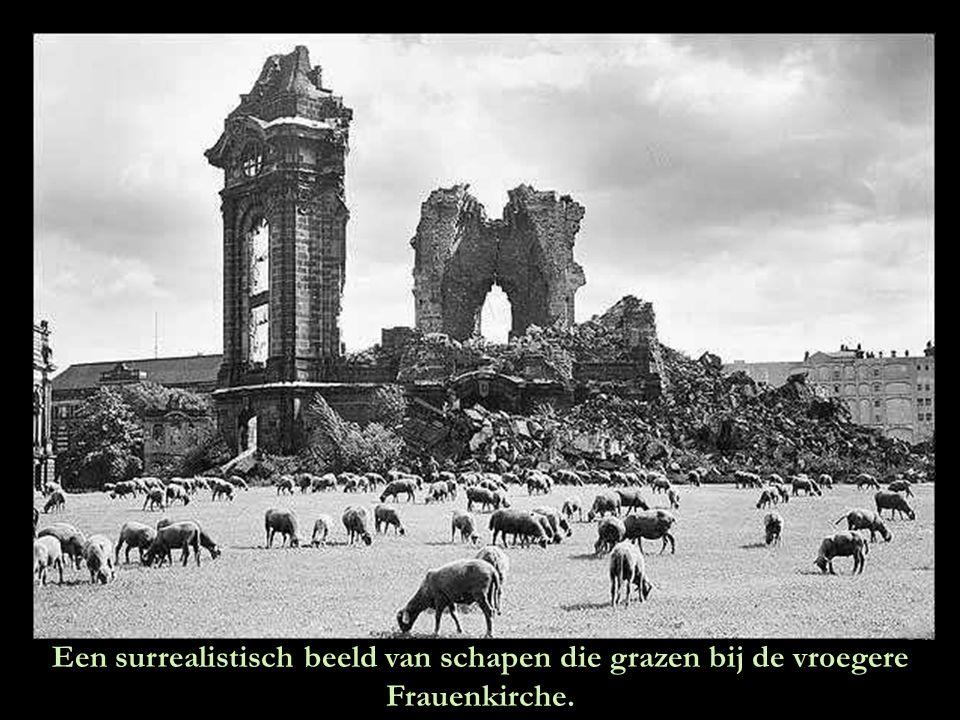 Een surrealistisch beeld van schapen die grazen bij de vroegere Frauenkirche.