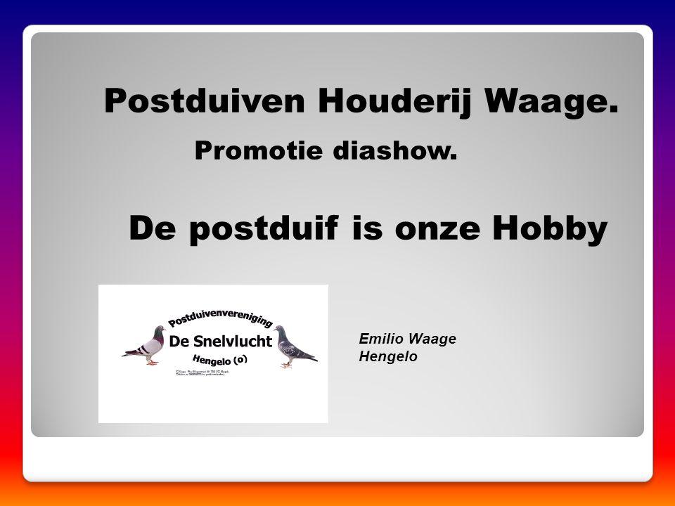 Postduiven Houderij Waage. De postduif is onze Hobby