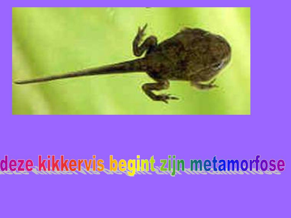 deze kikkervis begint zijn metamorfose