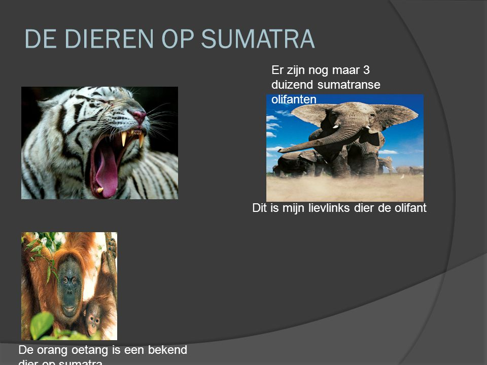 DE DIEREN OP SUMATRA Er zijn nog maar 3 duizend sumatranse olifanten