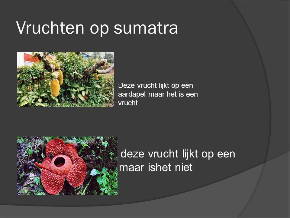 Vruchten op sumatra \ deze vrucht lijkt op een plant maar ishet niet.