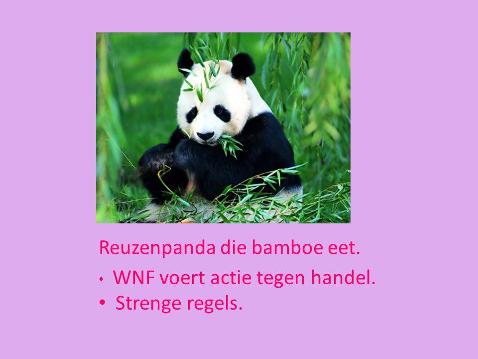 Reuzenpanda die bamboe eet.