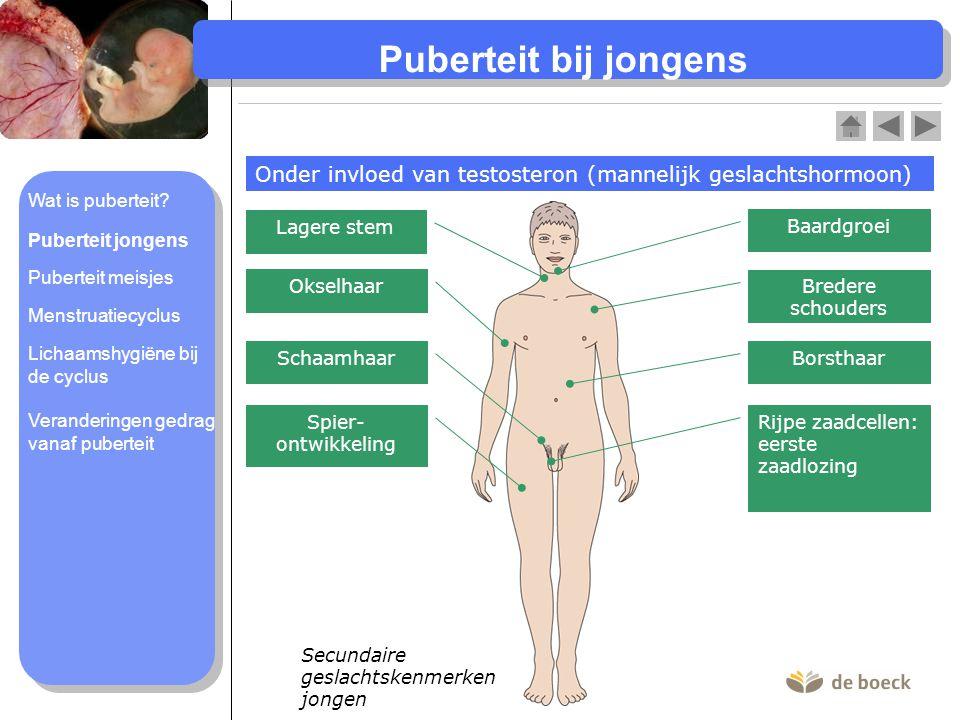 Puberteit bij jongens Onder invloed van testosteron (mannelijk geslachtshormoon) Wat is puberteit