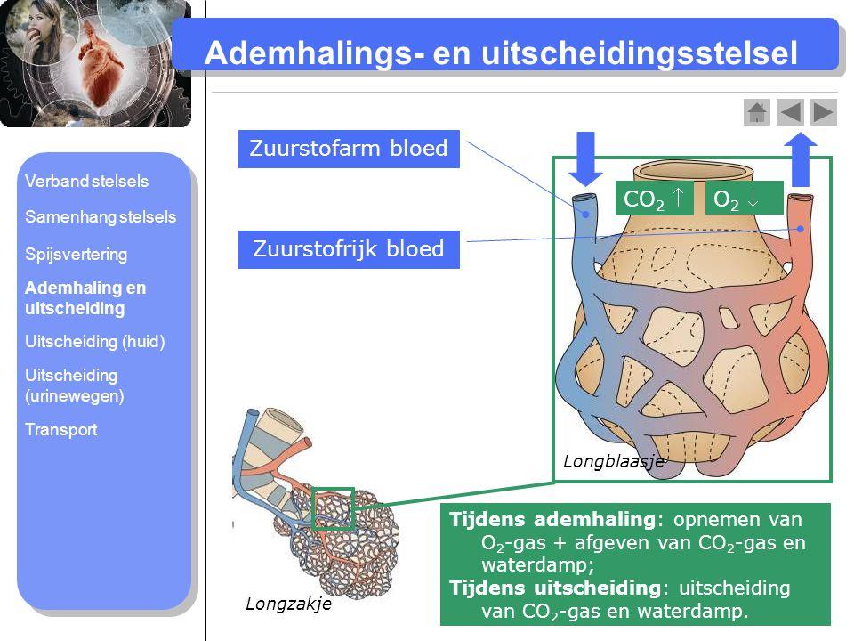 Ademhalings- en uitscheidingsstelsel