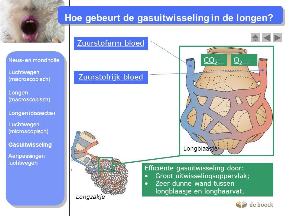 Hoe gebeurt de gasuitwisseling in de longen