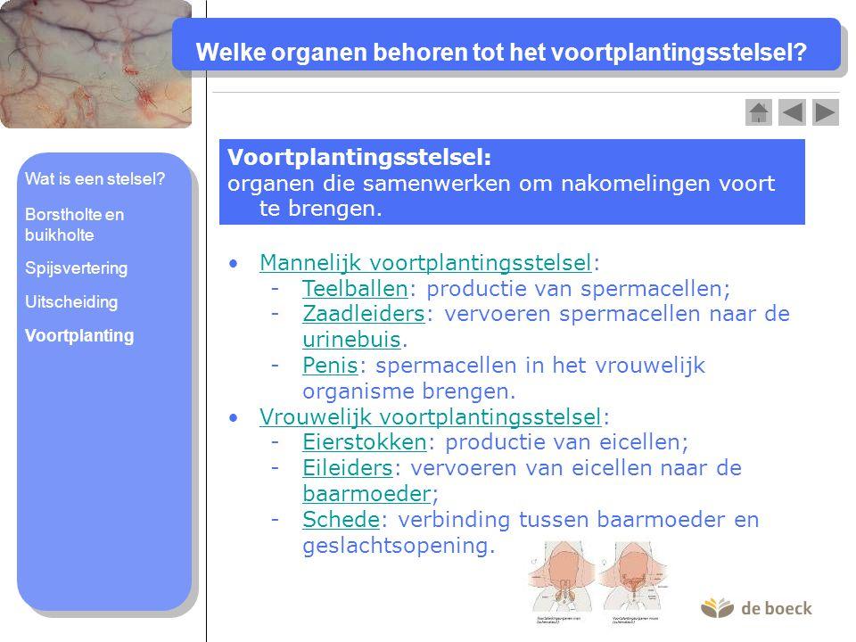 Welke organen behoren tot het voortplantingsstelsel