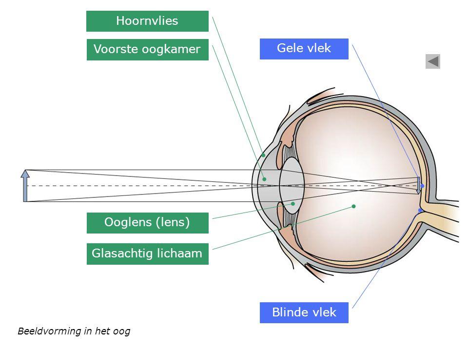 Hoornvlies Voorste oogkamer Gele vlek Ooglens (lens)