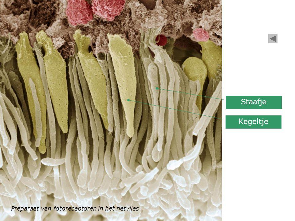 Staafje Kegeltje Preparaat van fotoreceptoren in het netvlies