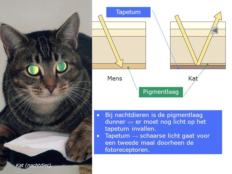 Tapetum Mens Kat Pigmentlaag