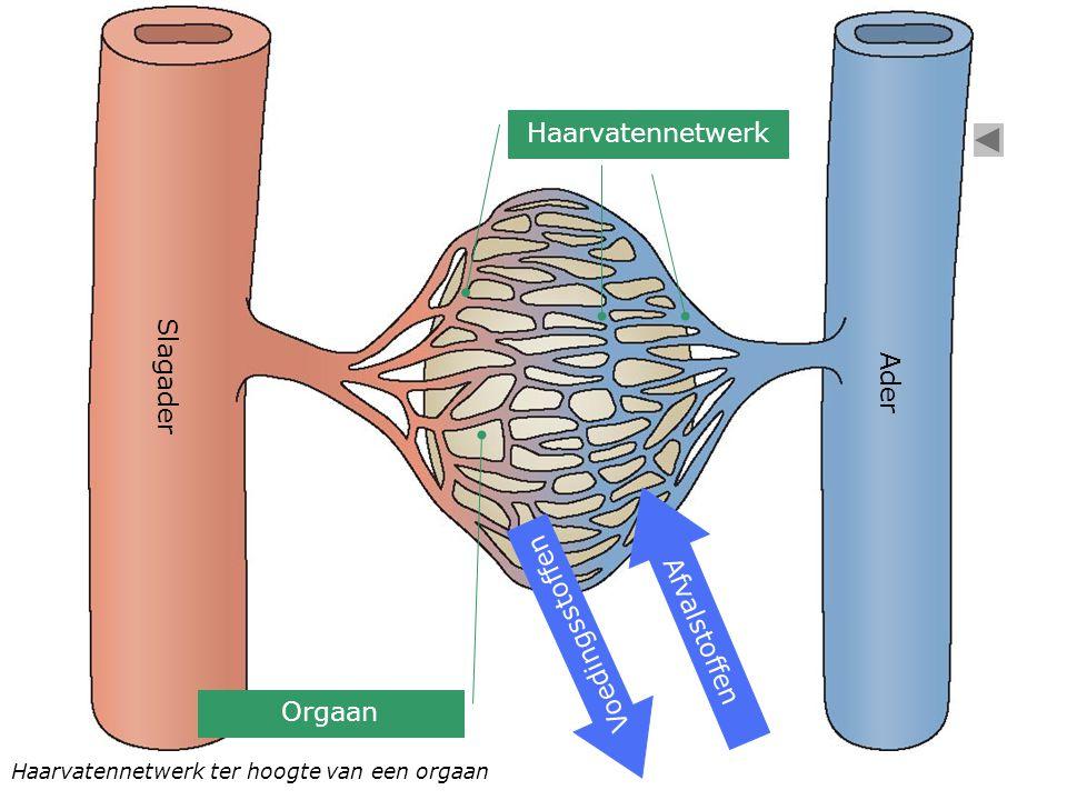 Haarvatennetwerk Slagader Ader Afvalstoffen Voedingsstoffen Orgaan