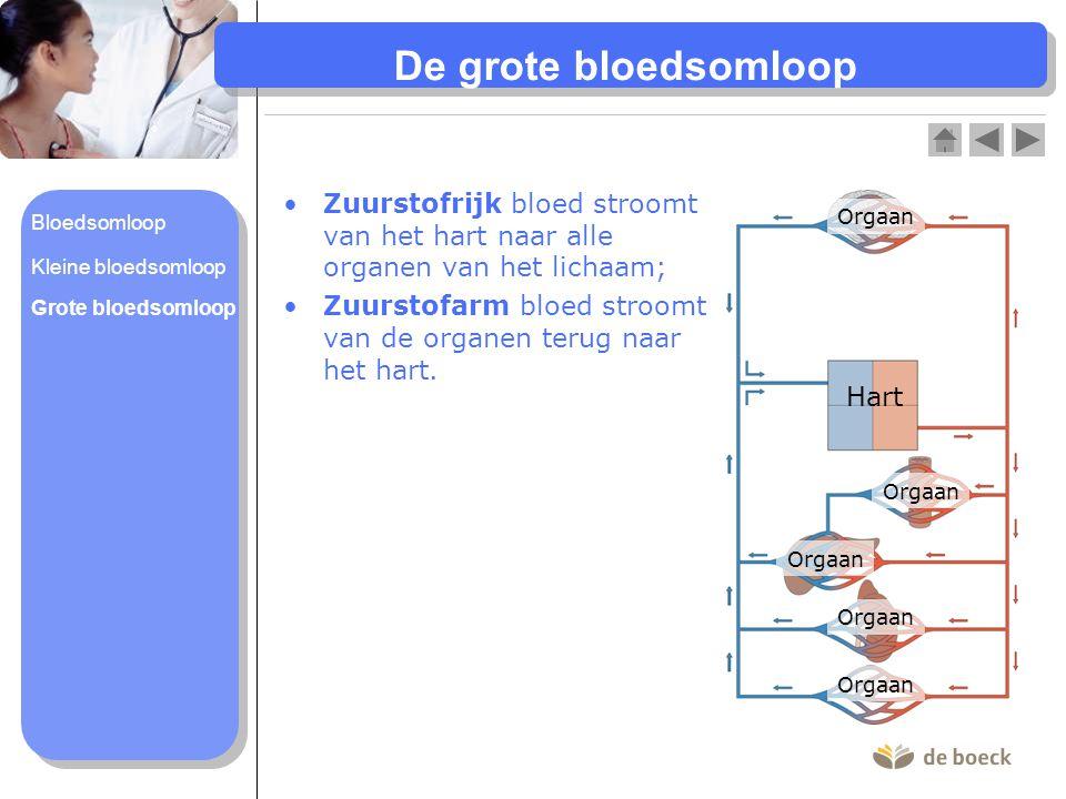 De grote bloedsomloop Zuurstofrijk bloed stroomt van het hart naar alle organen van het lichaam;