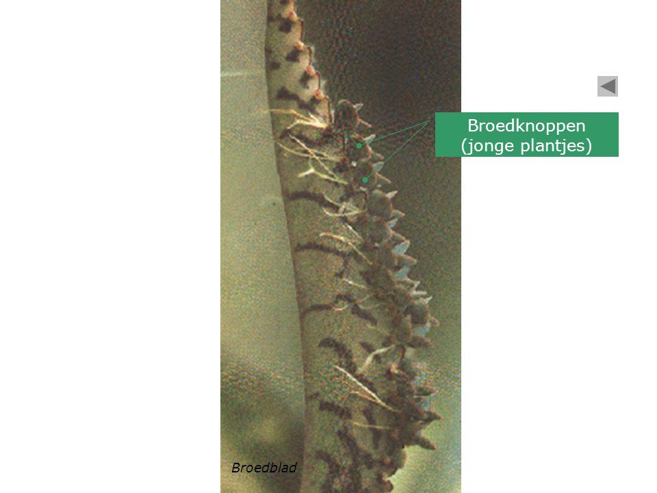 Broedknoppen (jonge plantjes) Broedblad