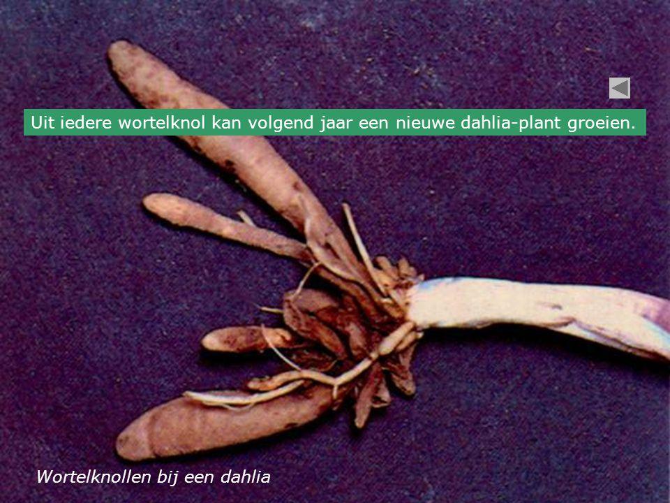 Uit iedere wortelknol kan volgend jaar een nieuwe dahlia-plant groeien.