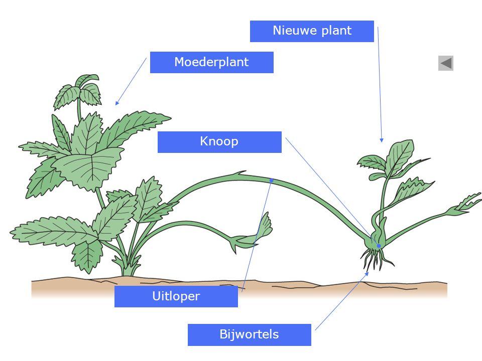 Nieuwe plant Moederplant Knoop Uitloper Bijwortels