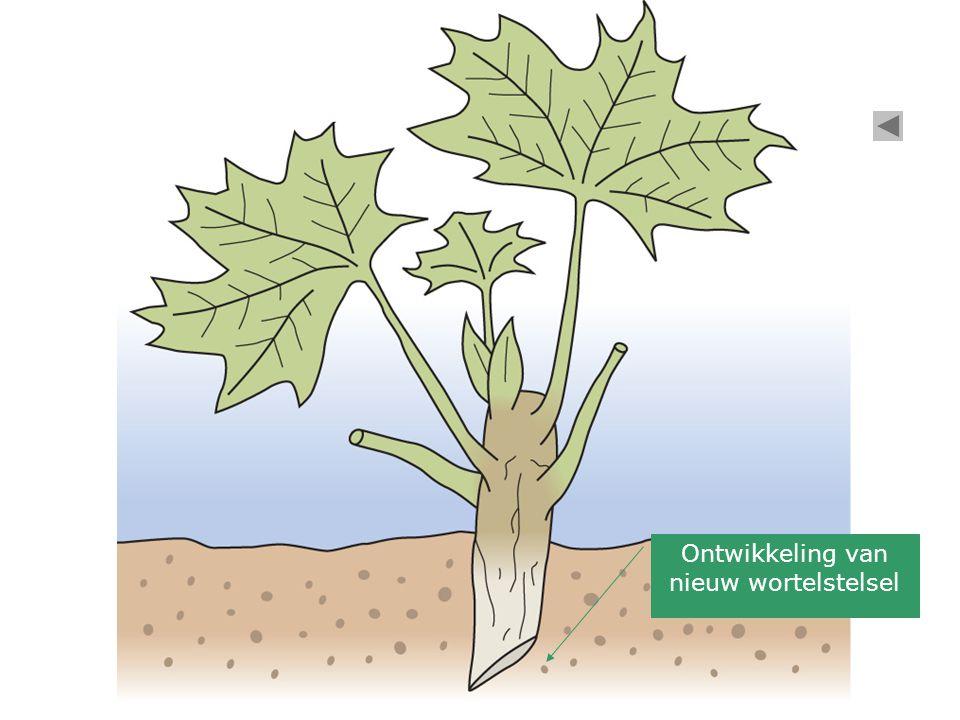 Ontwikkeling van nieuw wortelstelsel