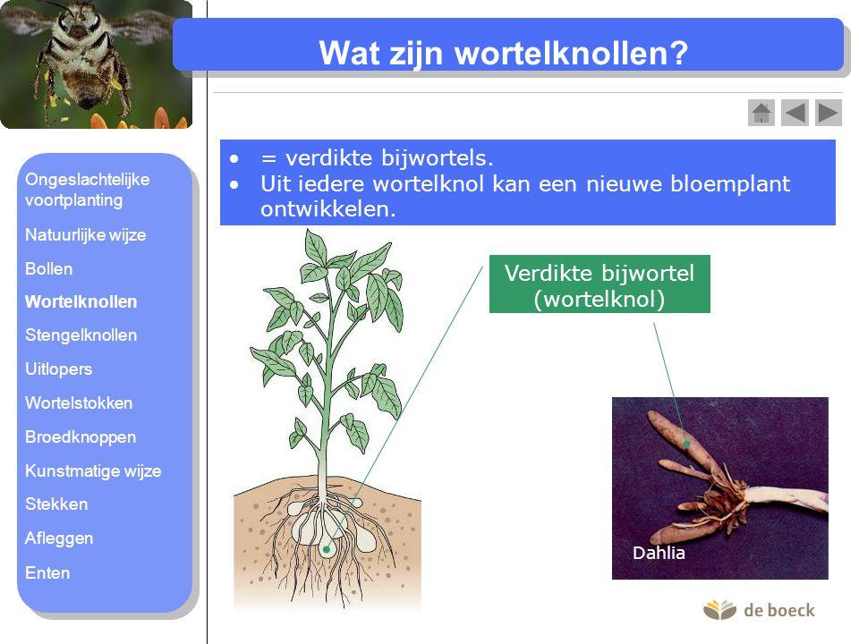 Wat zijn wortelknollen