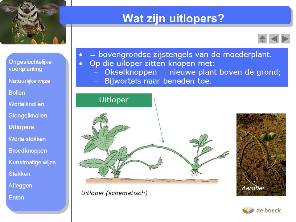Wat zijn uitlopers = bovengrondse zijstengels van de moederplant.