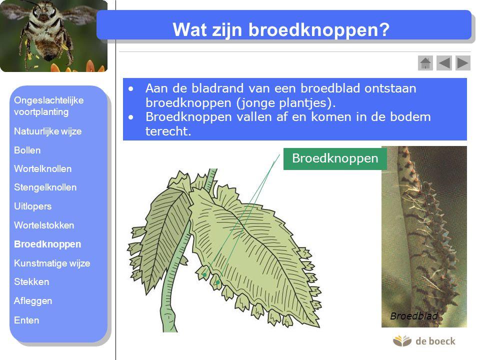 Wat zijn broedknoppen Aan de bladrand van een broedblad ontstaan broedknoppen (jonge plantjes).
