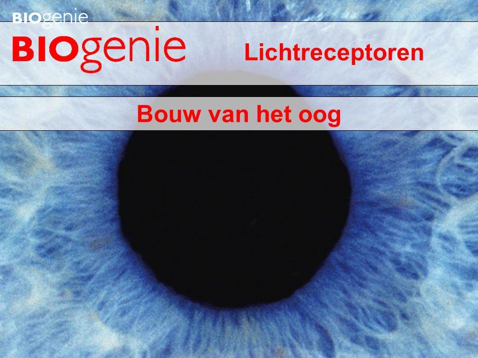 Lichtreceptoren Bouw van het oog