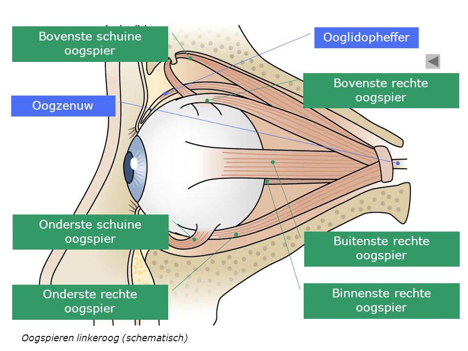 Bovenste schuine oogspier Ooglidopheffer