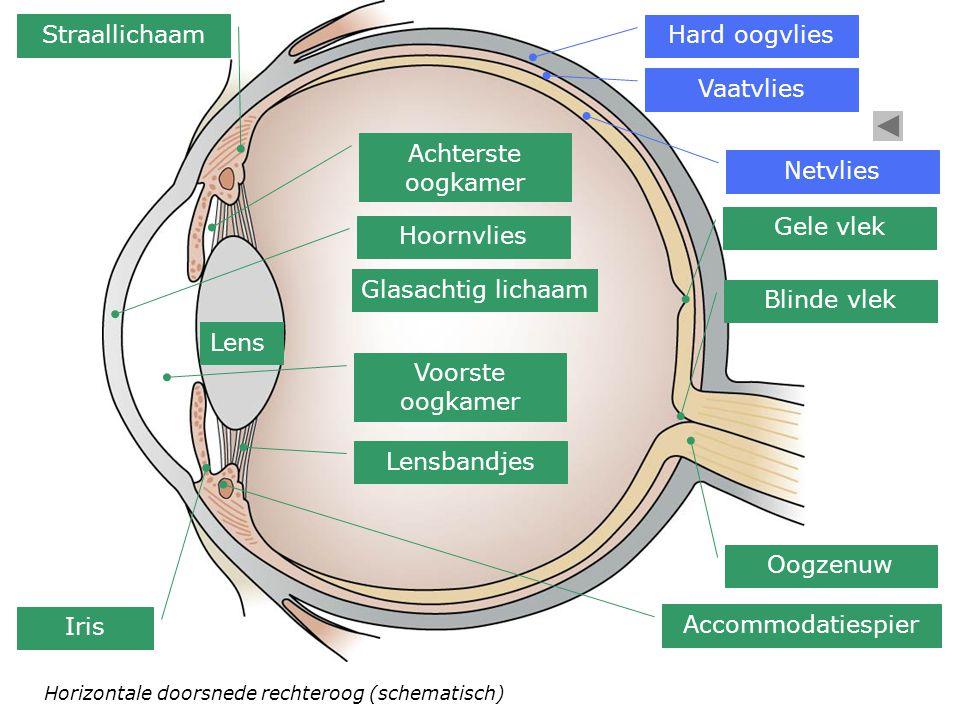 Straallichaam Hard oogvlies Vaatvlies Achterste oogkamer Netvlies