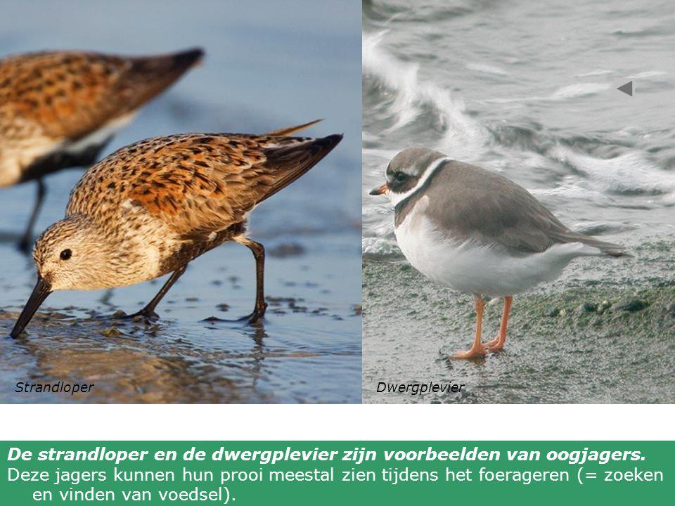 De strandloper en de dwergplevier zijn voorbeelden van oogjagers.