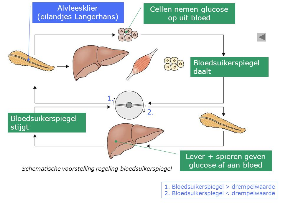(eilandjes Langerhans) Cellen nemen glucose op uit bloed