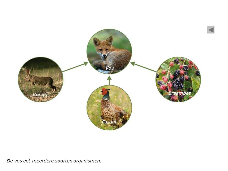 Vos Braambes Konijn Fazant De vos eet meerdere soorten organismen.