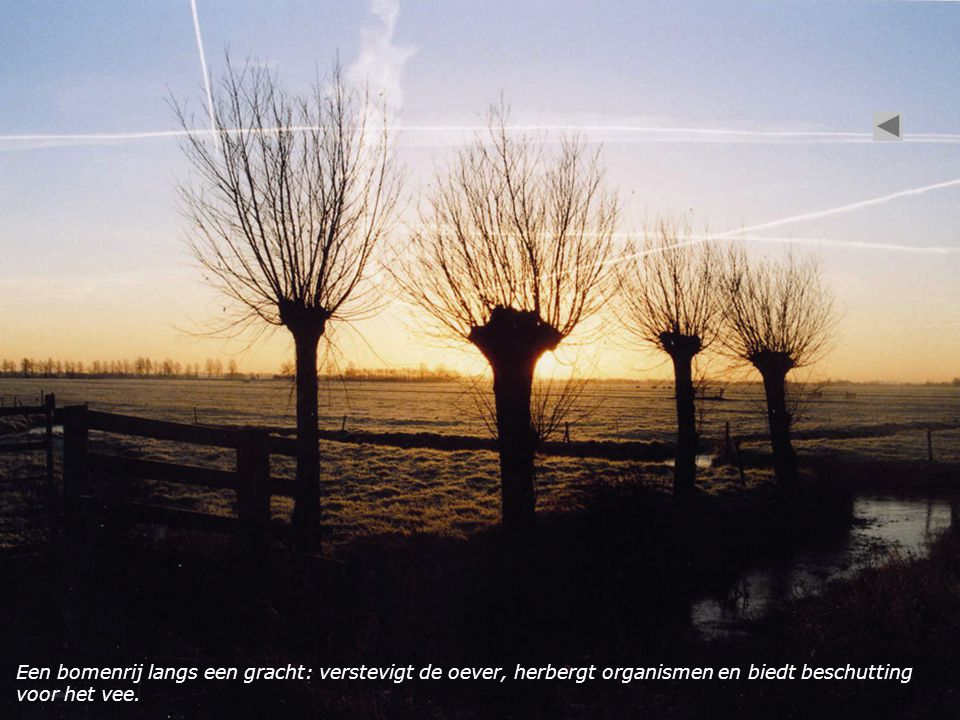 Een bomenrij langs een gracht: verstevigt de oever, herbergt organismen en biedt beschutting voor het vee.