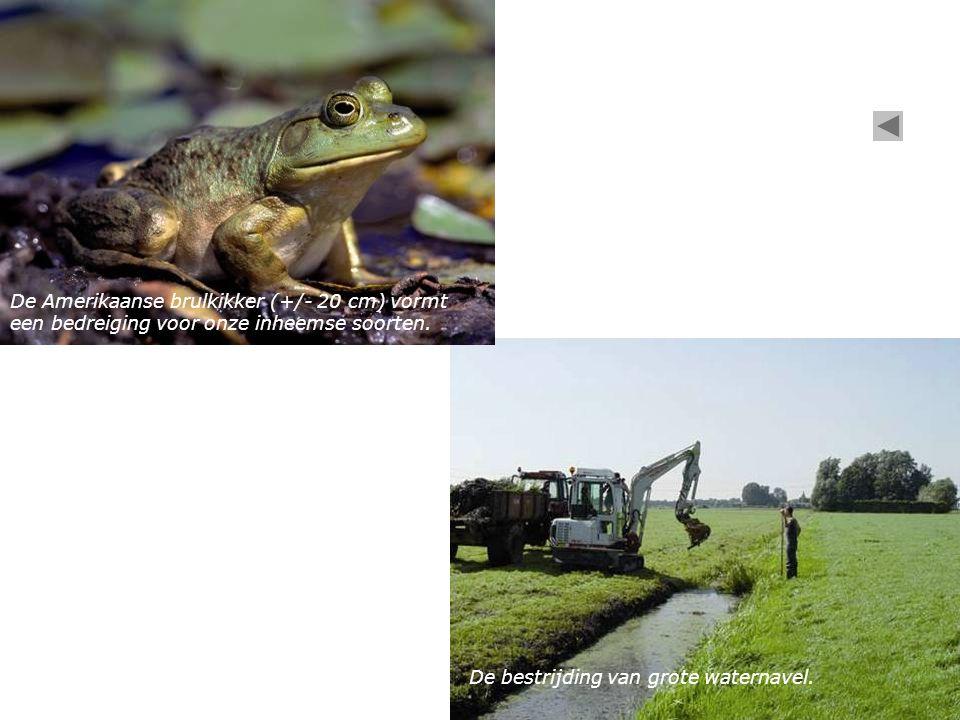 De Amerikaanse brulkikker (+/- 20 cm) vormt een bedreiging voor onze inheemse soorten.