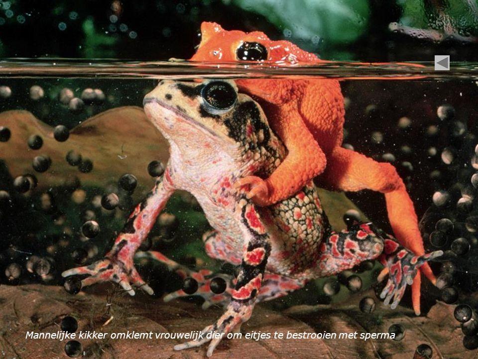 Mannelijke kikker omklemt vrouwelijk dier om eitjes te bestrooien met sperma