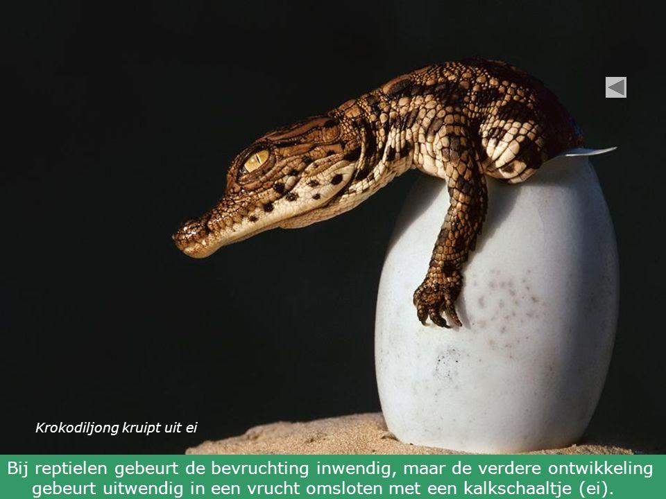 Krokodiljong kruipt uit ei