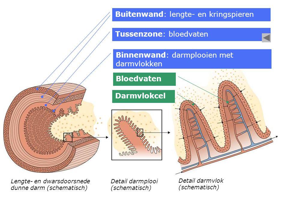 Buitenwand: lengte- en kringspieren