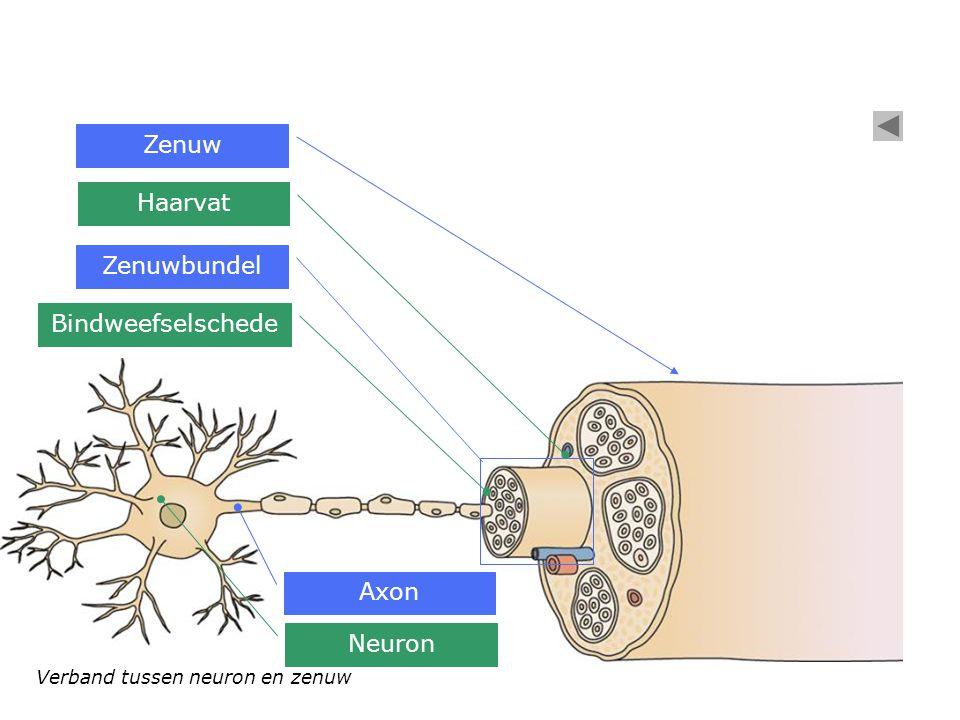 Zenuw Haarvat Zenuwbundel Bindweefselschede Axon Neuron