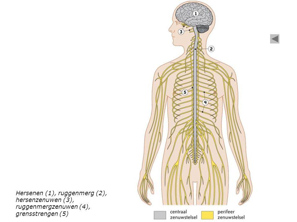 Hersenen (1), ruggenmerg (2), hersenzenuwen (3), ruggenmergzenuwen (4), grensstrengen (5)