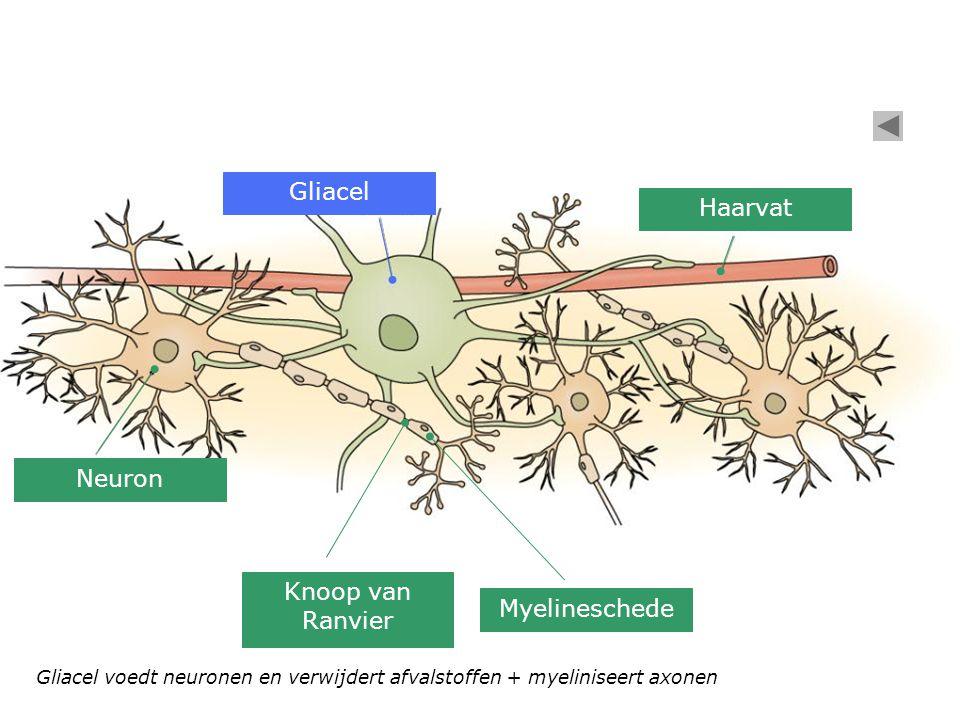 Gliacel Haarvat Neuron Knoop van Ranvier Myelineschede