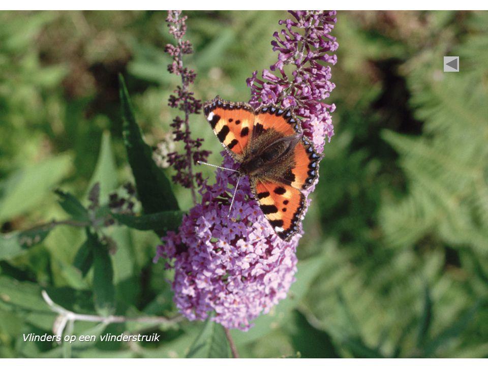 Vlinders op een vlinderstruik