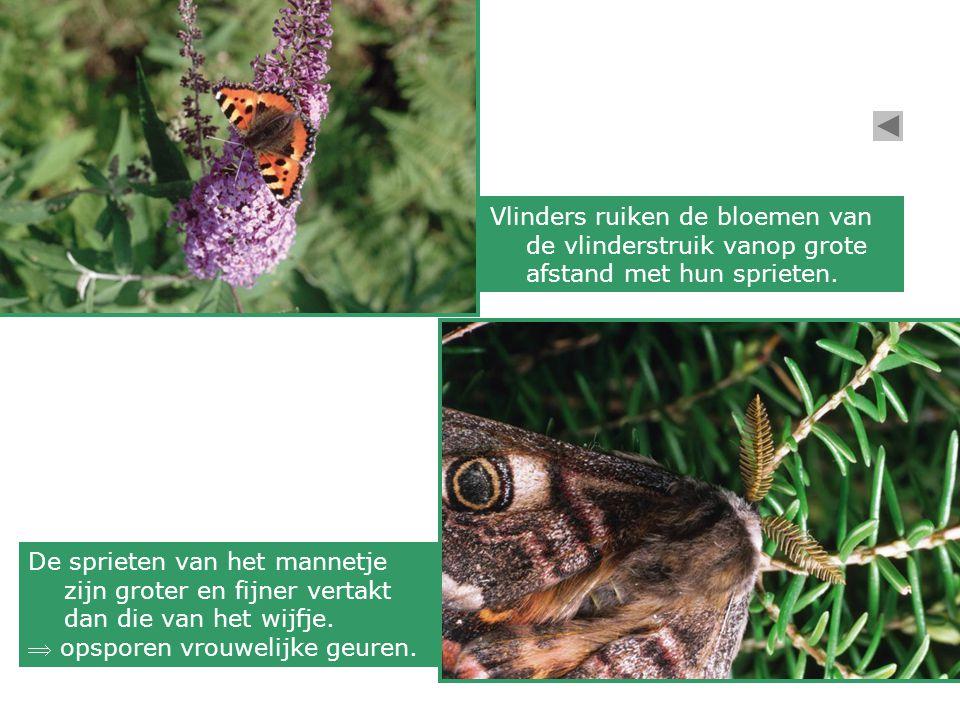 Vlinders ruiken de bloemen van de vlinderstruik vanop grote afstand met hun sprieten.