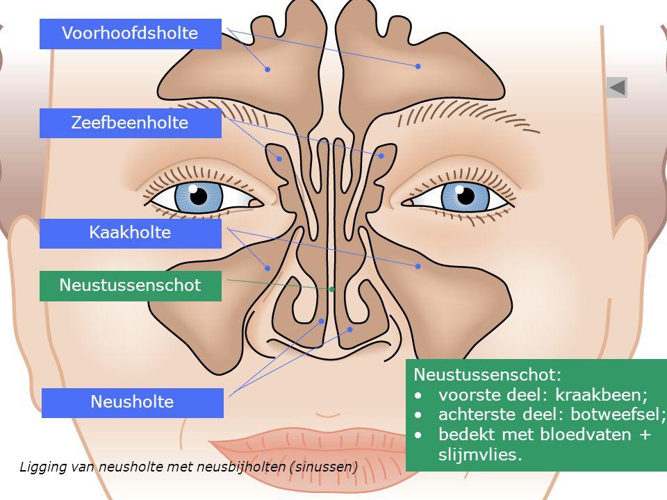 voorste deel: kraakbeen; achterste deel: botweefsel;