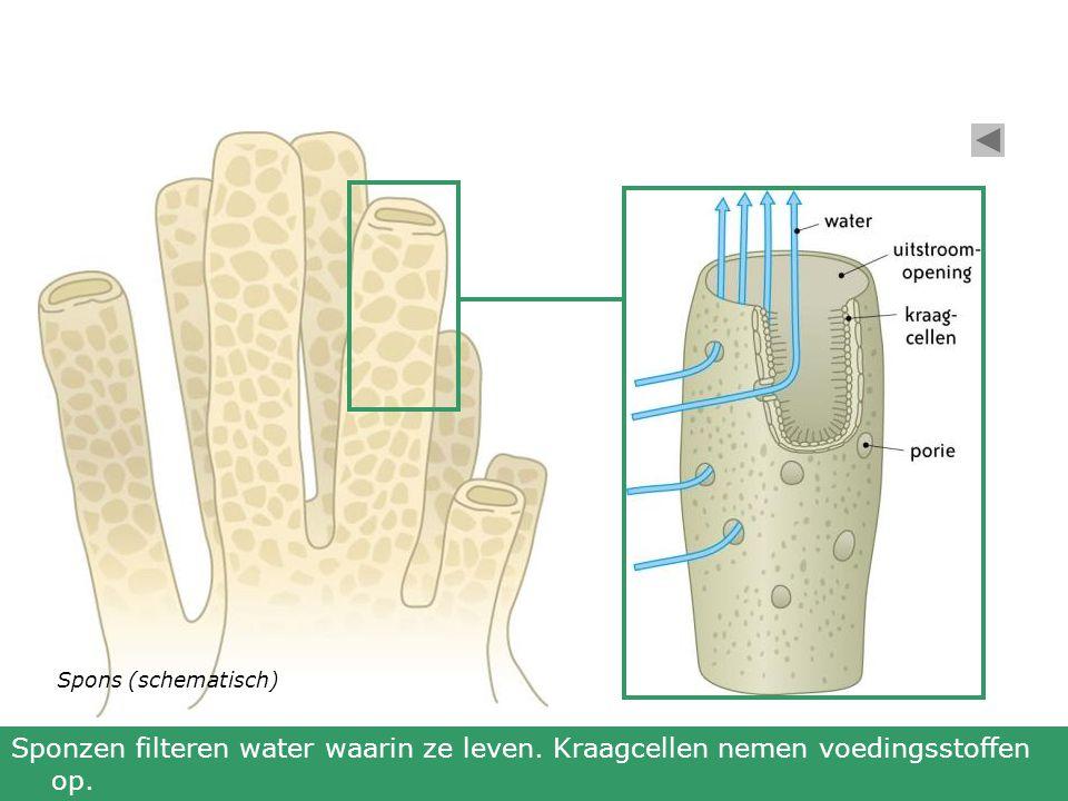 Spons (schematisch) Sponzen filteren water waarin ze leven. Kraagcellen nemen voedingsstoffen op.